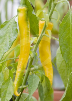 cayenne golden chili frø