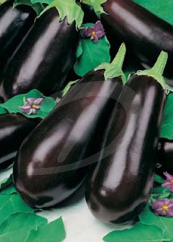 long purple aubergine frø