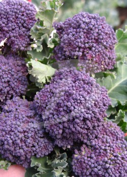 purple early broccoli frø